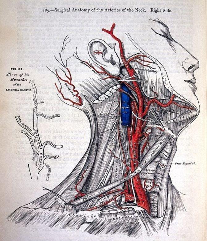 Illustration by Henry Vandyke Carter (1831-1897) from Greys Anatomy